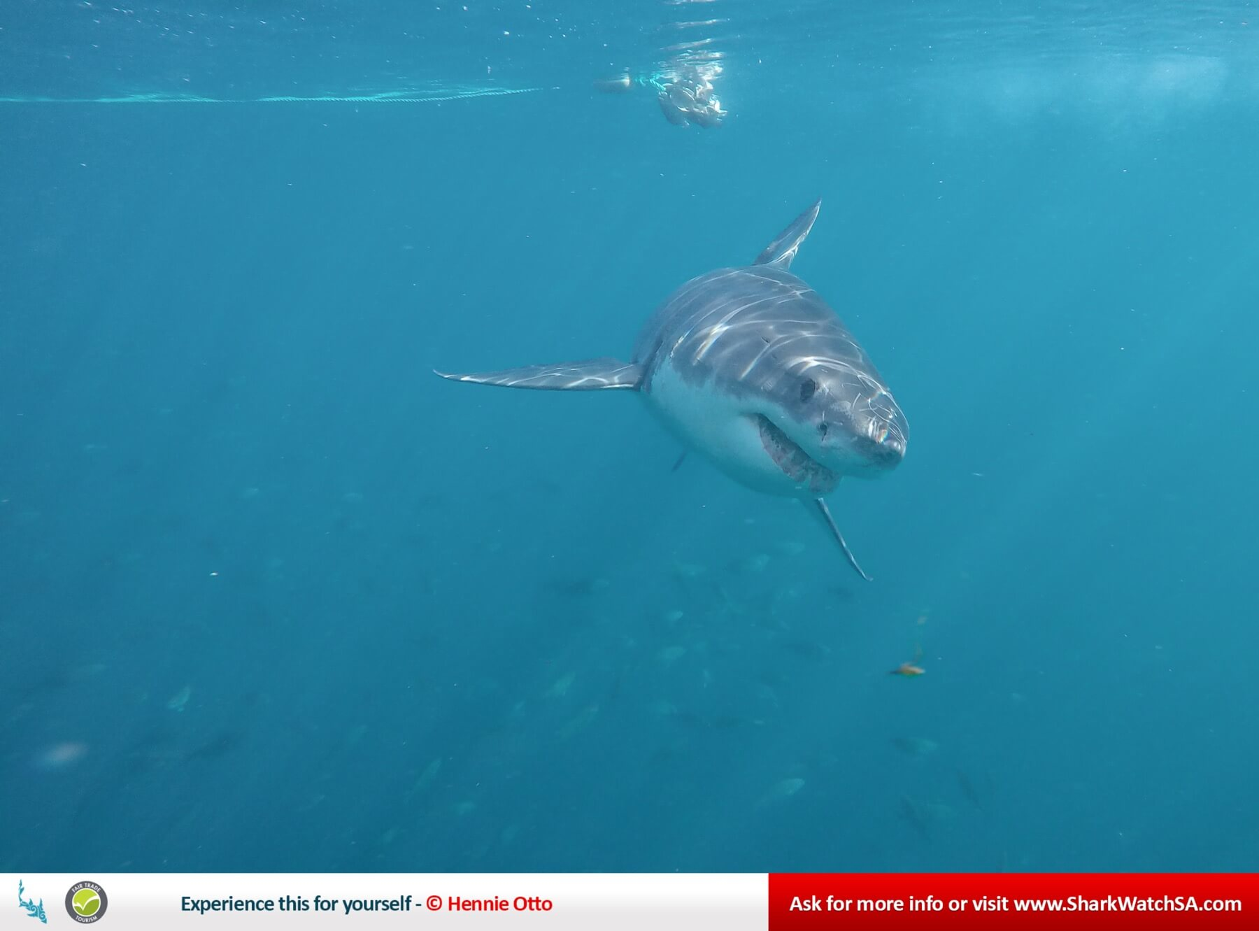 Great White Shark Marine Big 5 Part Of The Dict Research Projects