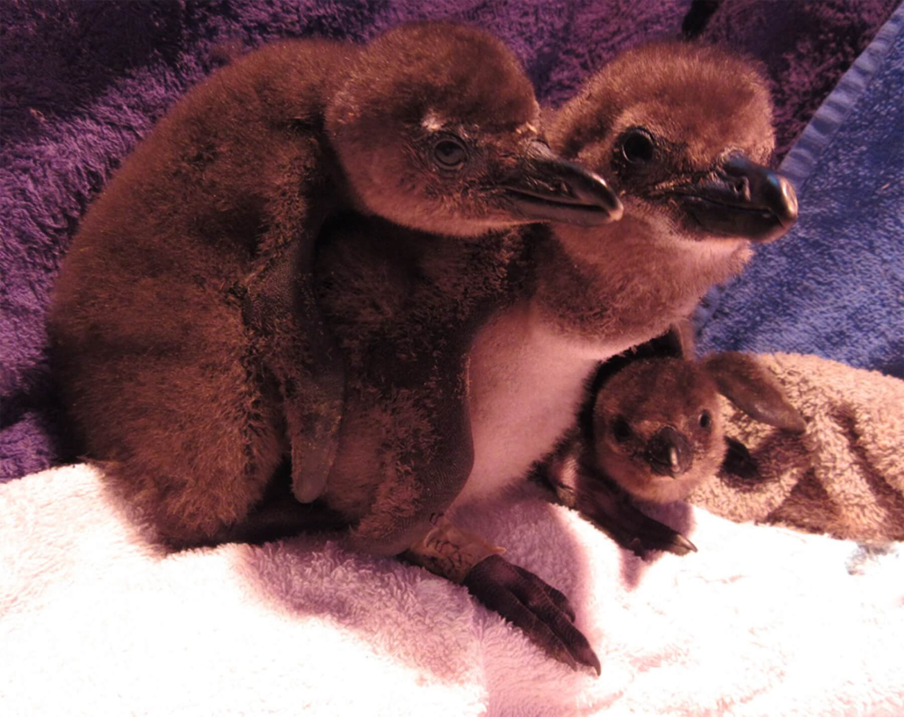Penguin Chicks, Part Of The Chick Bolstering Project