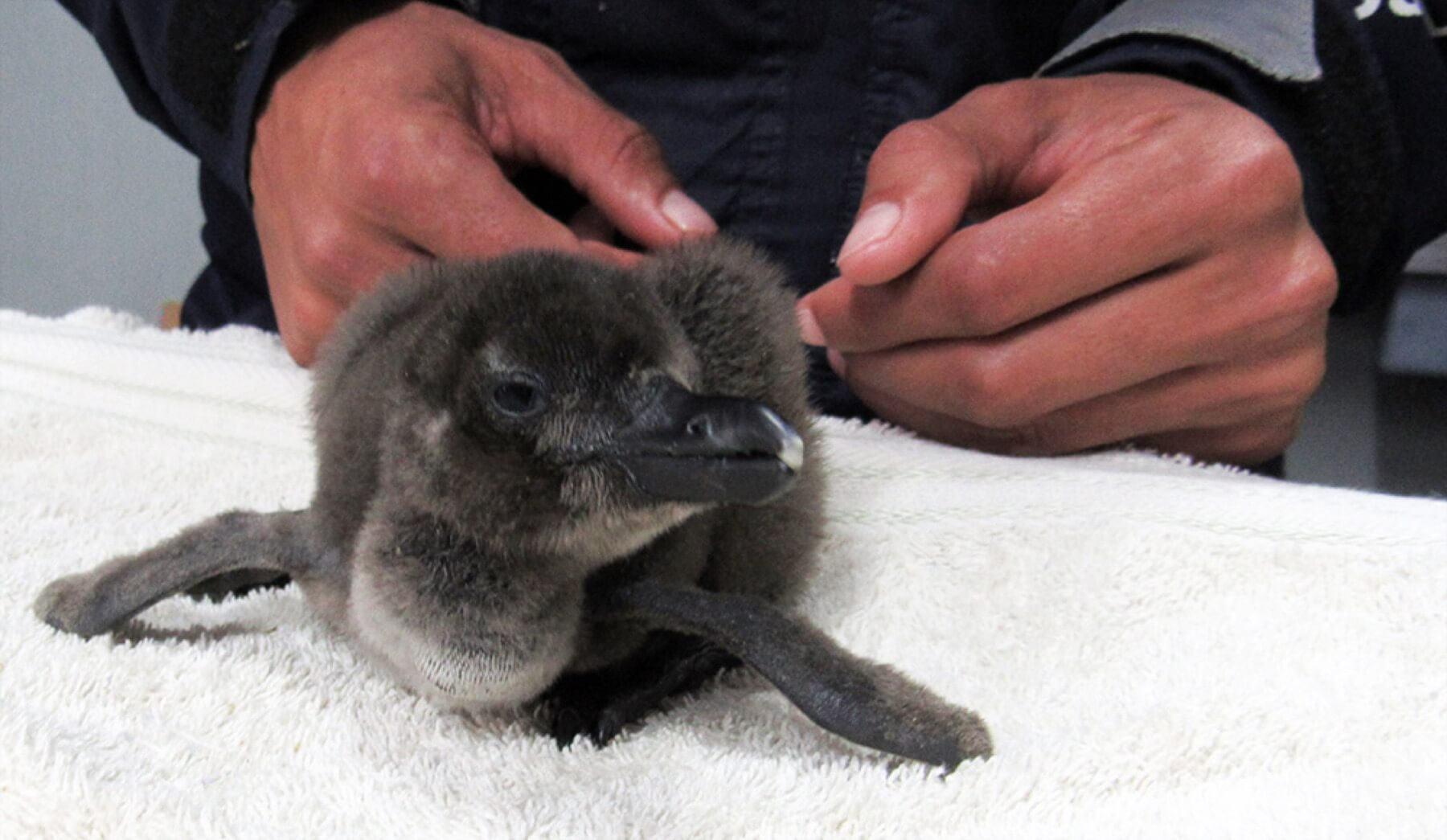 Small Penguin Chick