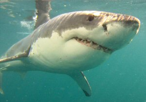 Great White Shark study in the limelight at the Two Oceans ...