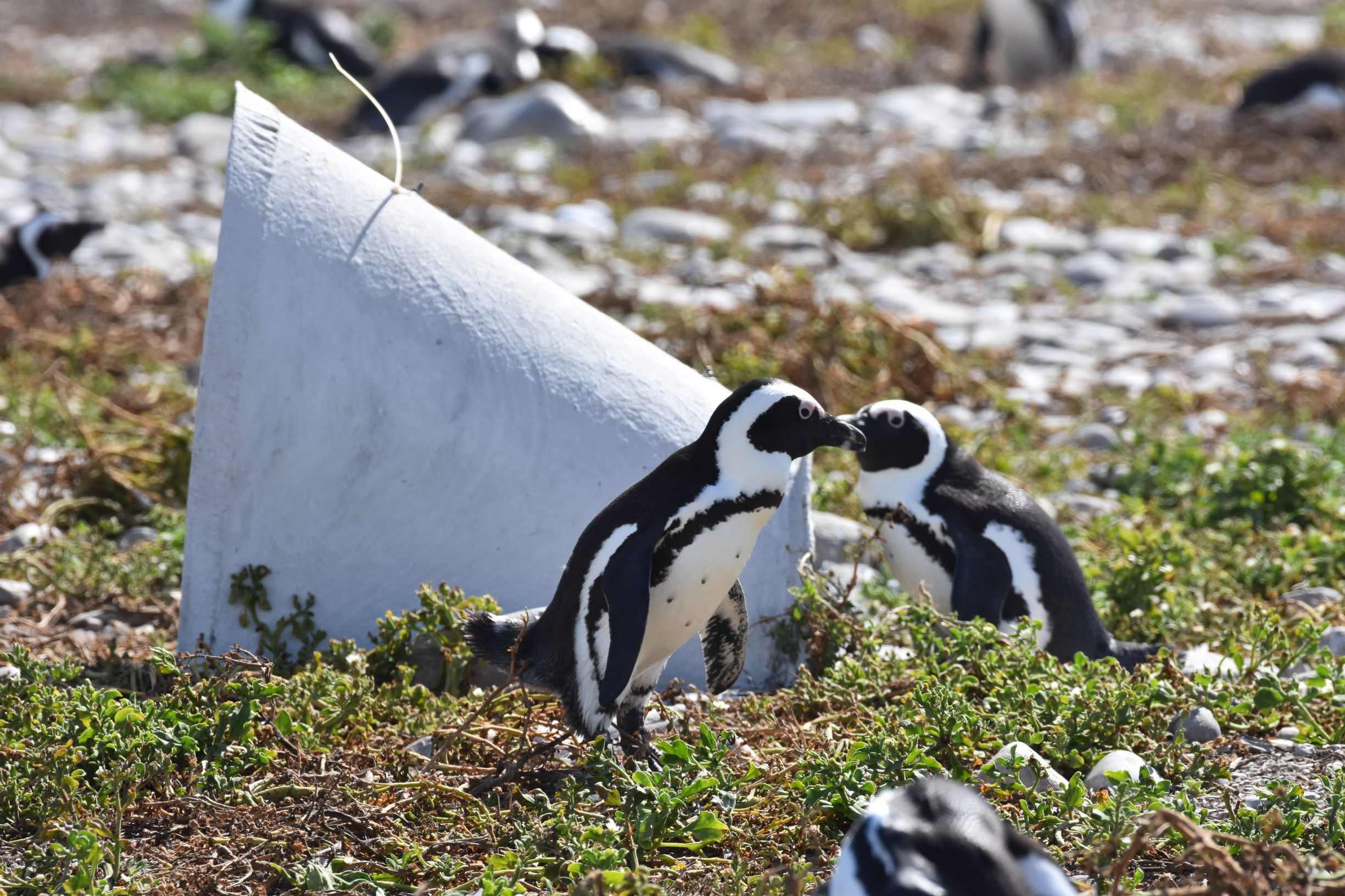 Homes For African Penguins
