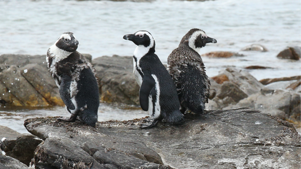 African penguin nearly completed moult