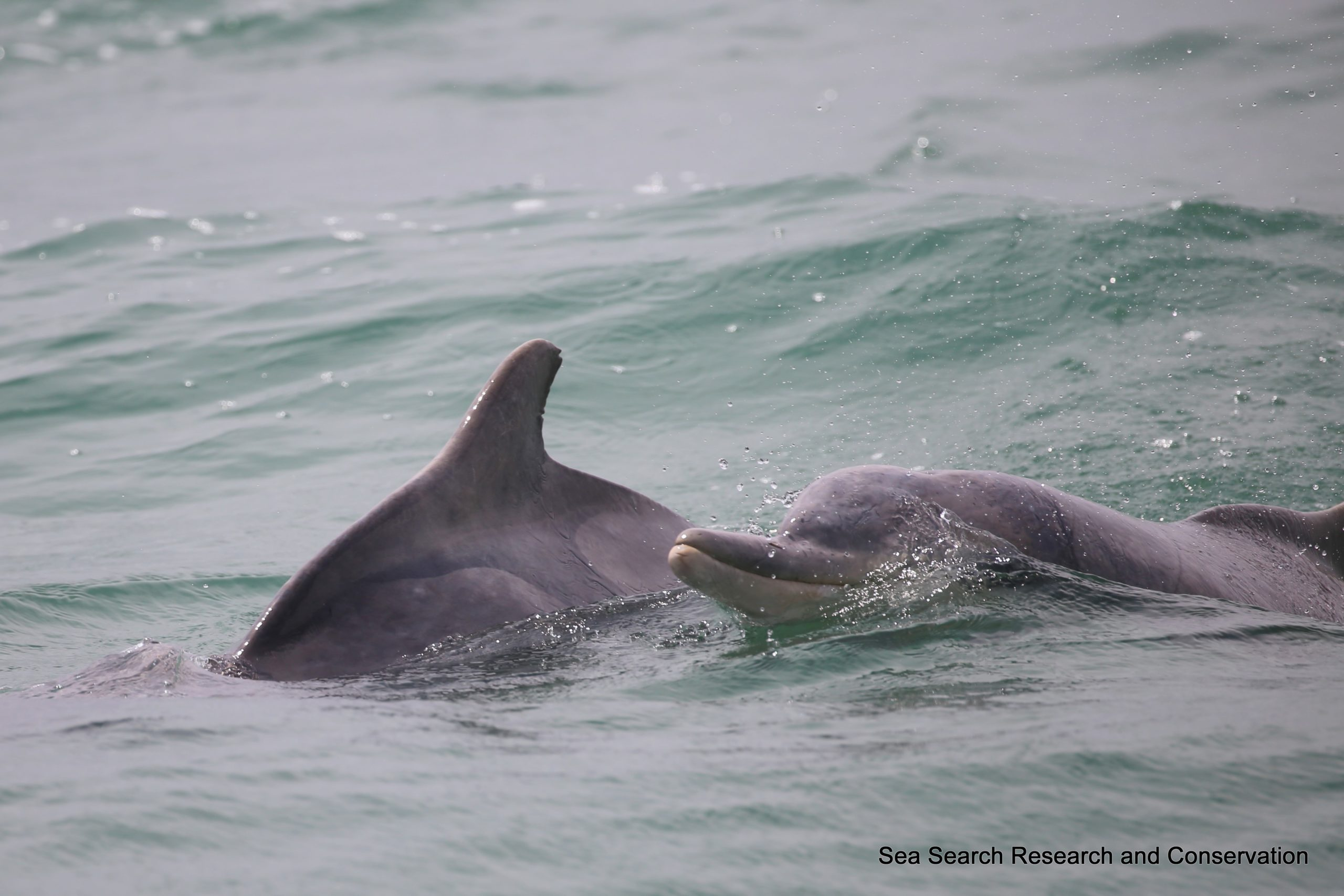 Eavesdropping on endangered humpback dolphins (Sousa plumbea) in Kleinbaai, South Africa.