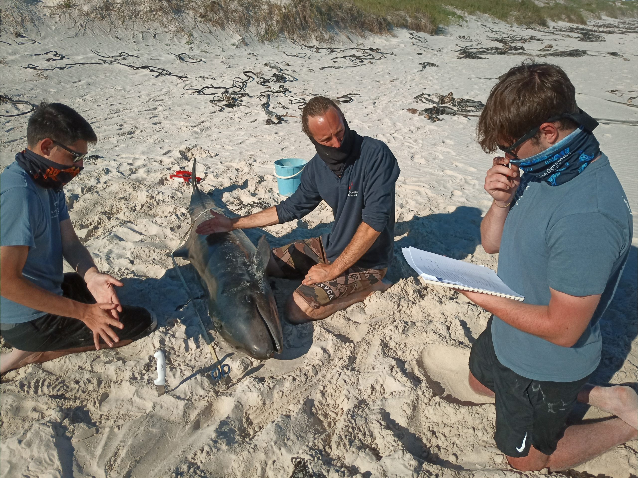 False Killer Whale stranding in Pearly Beach